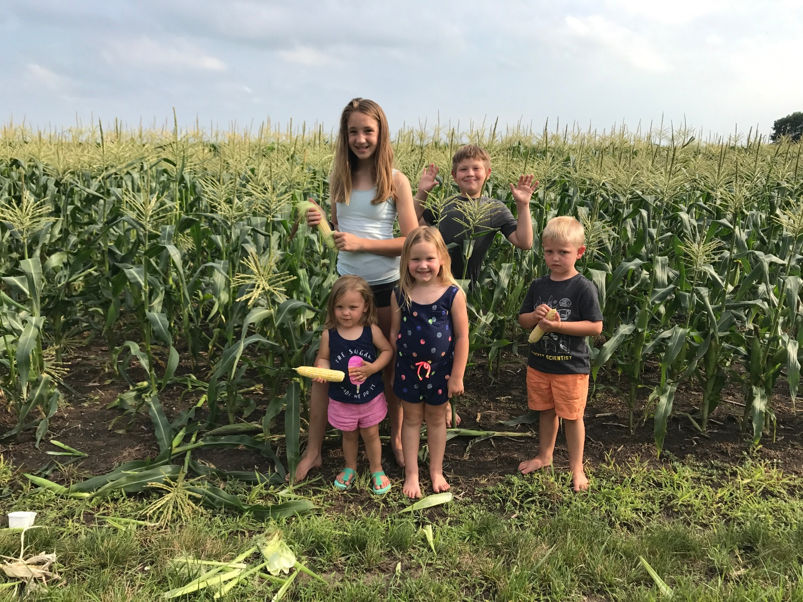 Sweet Corn Picking