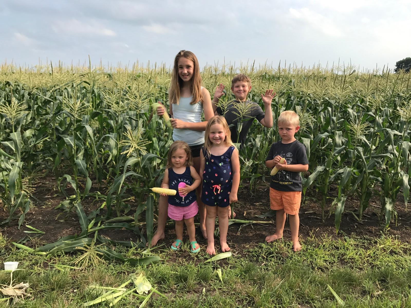 Sweet Corn Picking