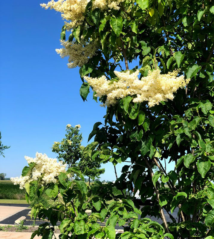 Japanese Tree Lilac in bloom