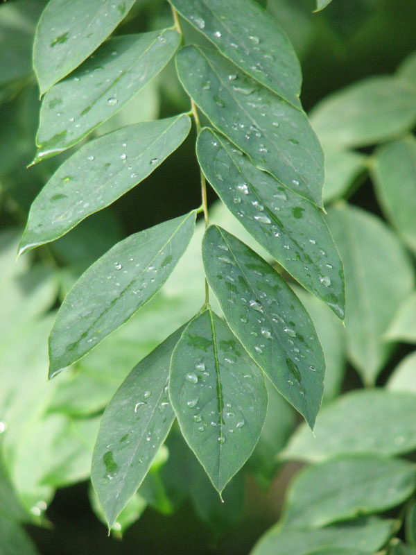 Kentucky Coffee Tree Foliage