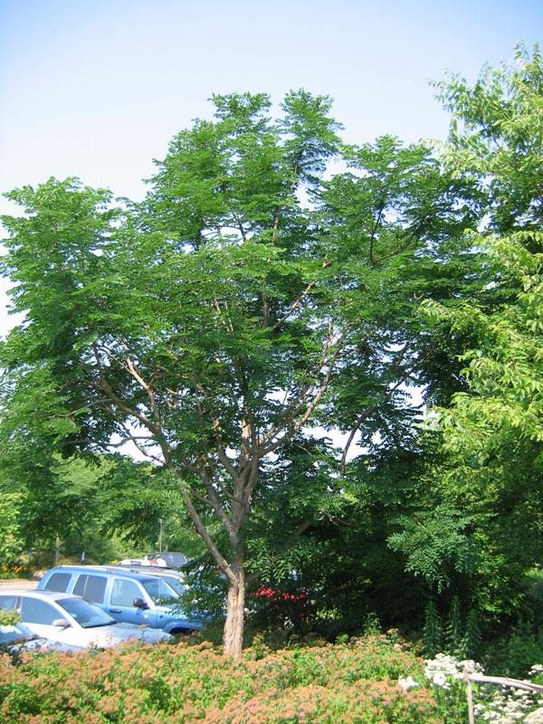 Kentucky Coffee Tree in Summer