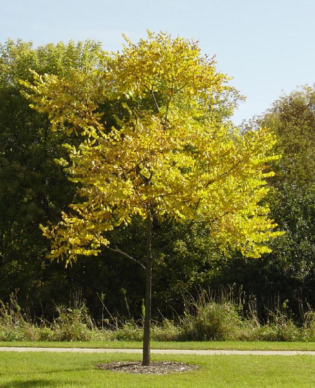 Kentucky Coffee Tree in Fall