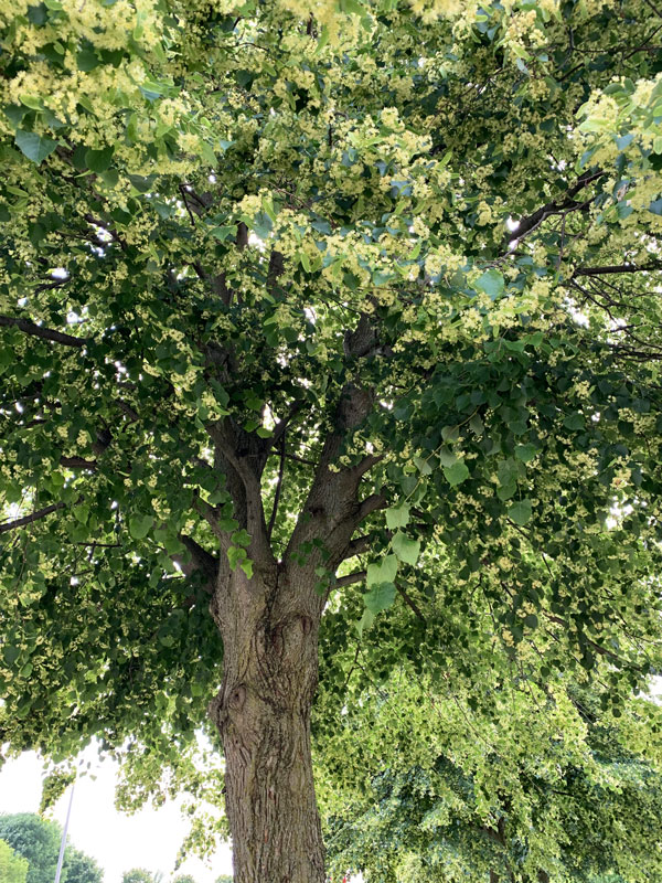 Linden Tree Canopy and Flowers