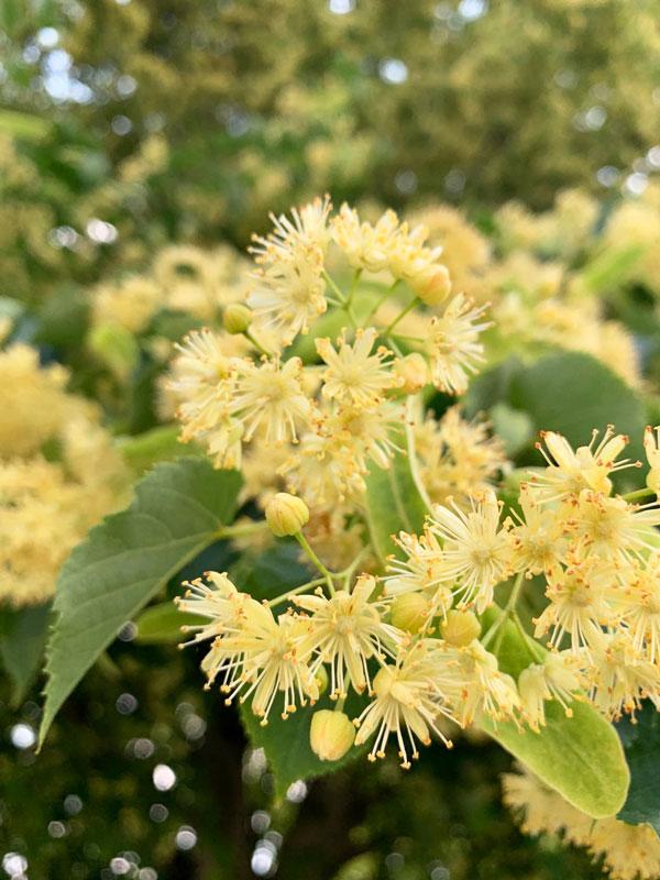 Linden Flowers Closeup