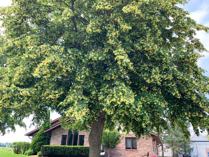 Linden Tree in Bloom