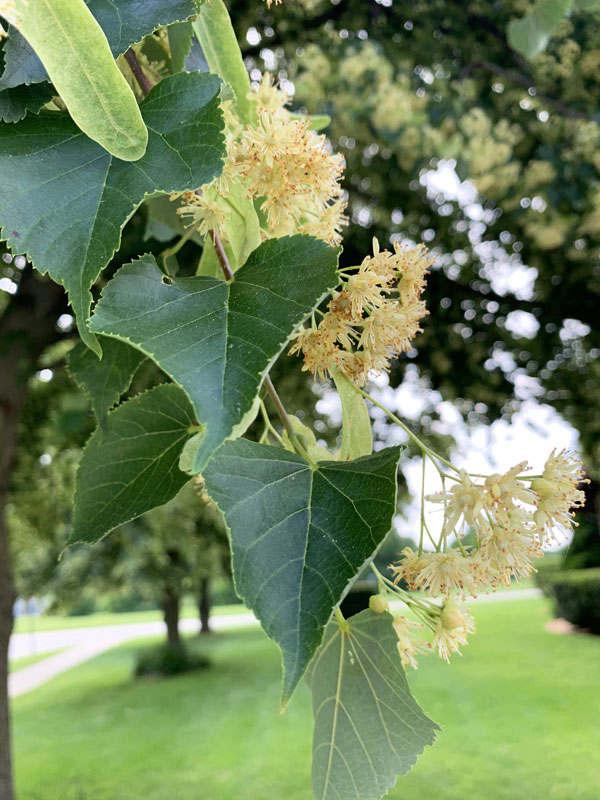 Linden Tree Leaves and Flowers Closeup
