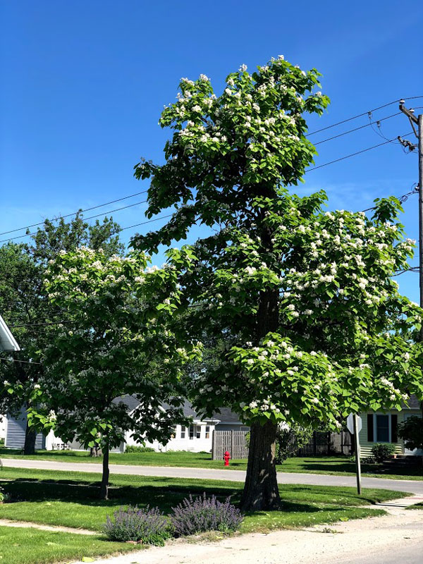 Northern Catalpa in bloom