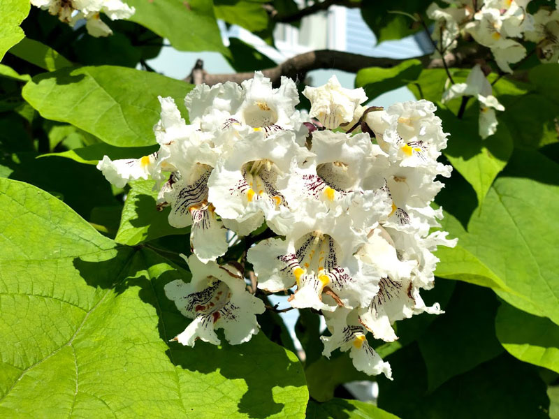 Northern Catalpa flowers and leaves closeup