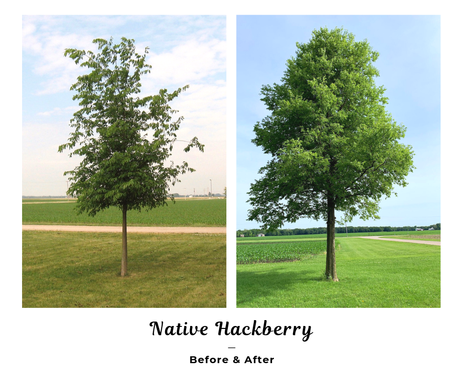 Native Hackberry Before and After