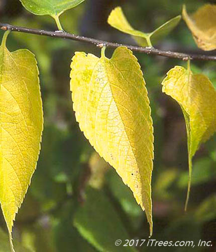 Native Hackberry Foliage in Fall