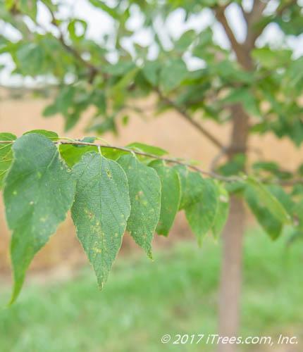 Native Hackberry Foliage