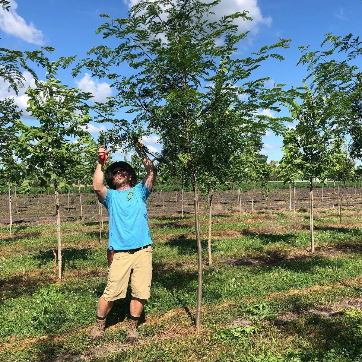 Pruning Honeylocust Trees