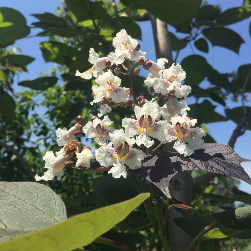 Purple Catalpa