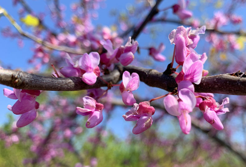 Redbud Flowers Closeup