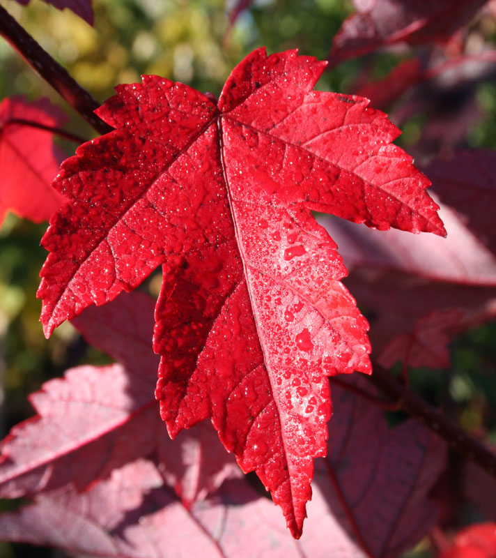 Redpointe Red Maple Leaf Closeup