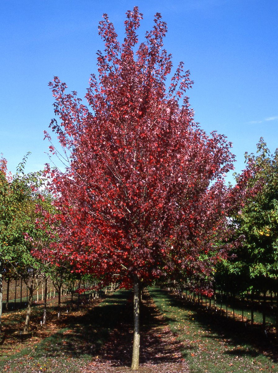 Redpointe Red Maple in Nursry in the Fall with Red color
