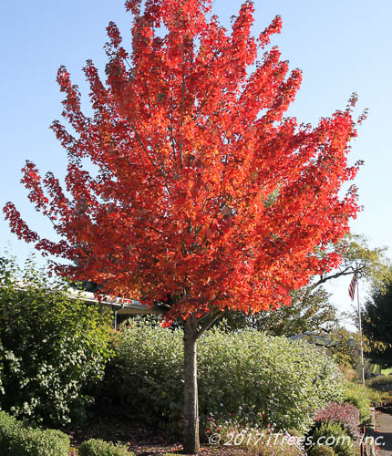 Redpointe Red Maple