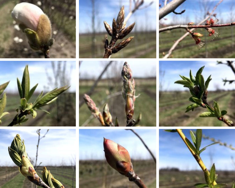 SGN Tree Buds