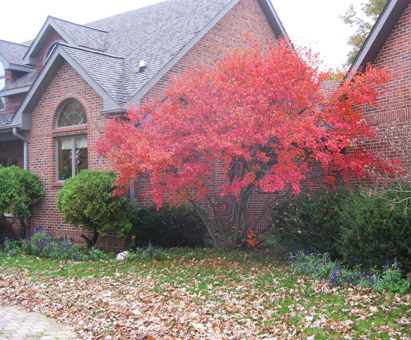 Autumn Brilliance Serviceberry in Fall in front of brick house