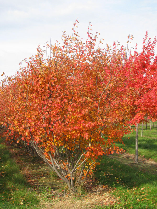 Autumn Brilliance Serviceberry in Fall in the Nursery