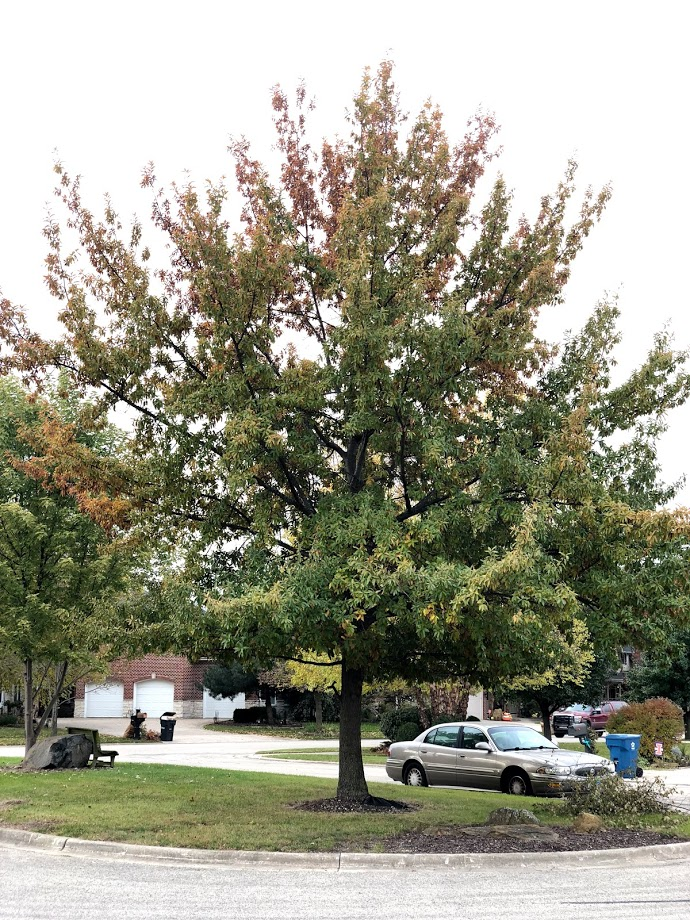 Mature Shingle Oak in Cul de sac Island Changing Colors