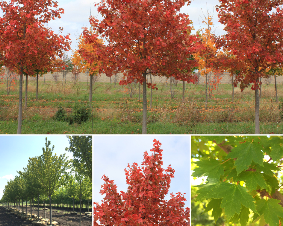 Sun Valley Red Maple
