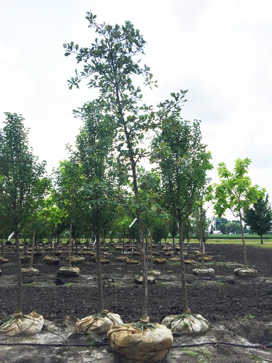 Swamp White Oak in Holding-Yard