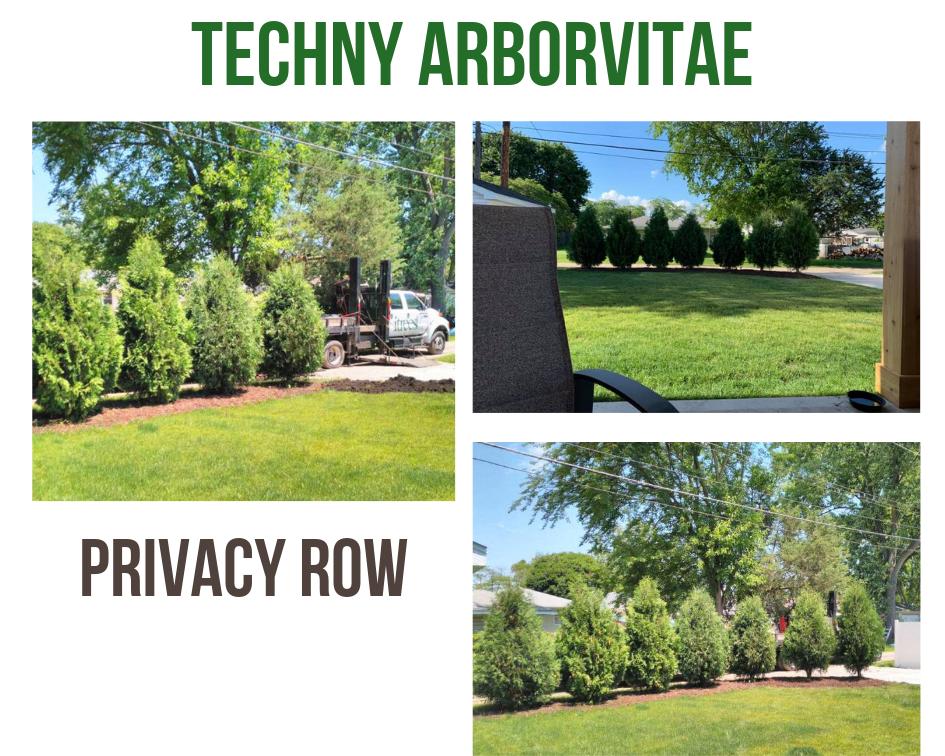 Techny Arborvitae