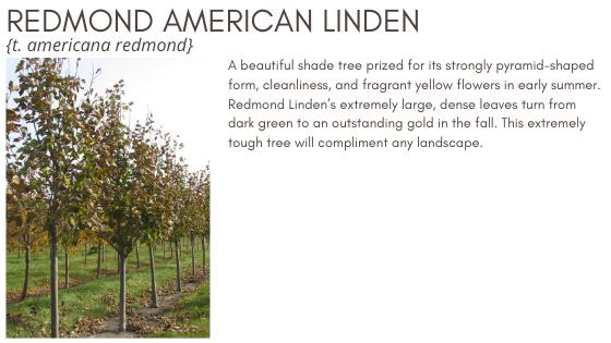 Redmond American Linden