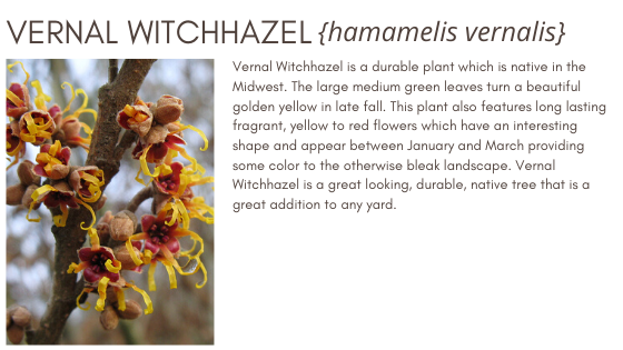 Vernal Witchhazel Healthy Hedge