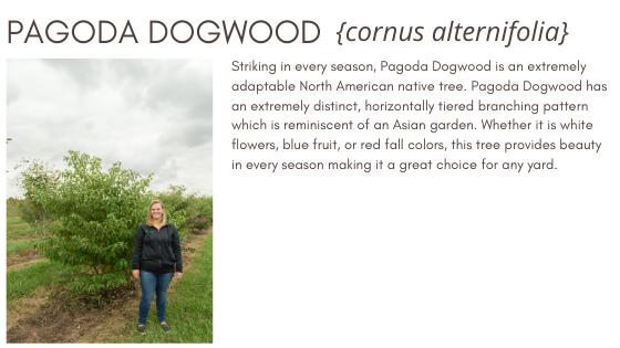 Pagoda Dogwood