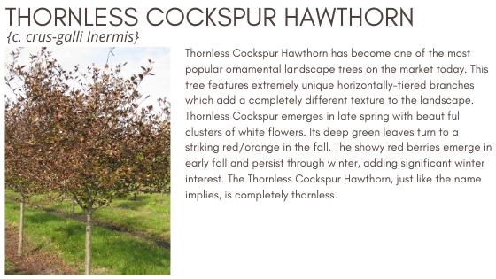 Thornless Hawhorn