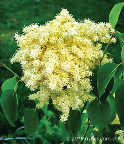 Beijing Gold Tree Lilac