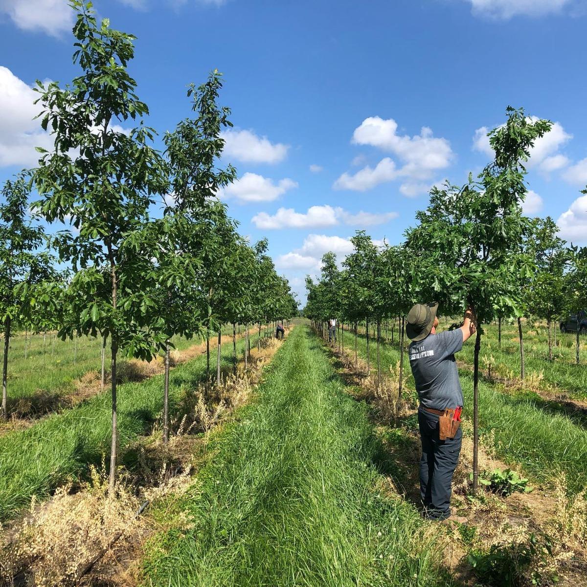 Pruning Oaks