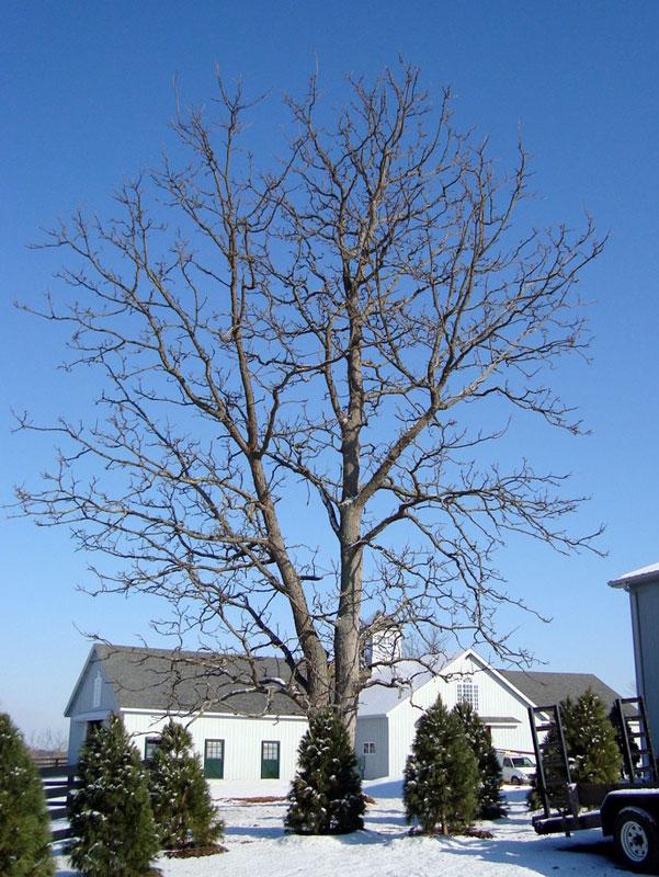 Kentucky Coffee Tree in Winter