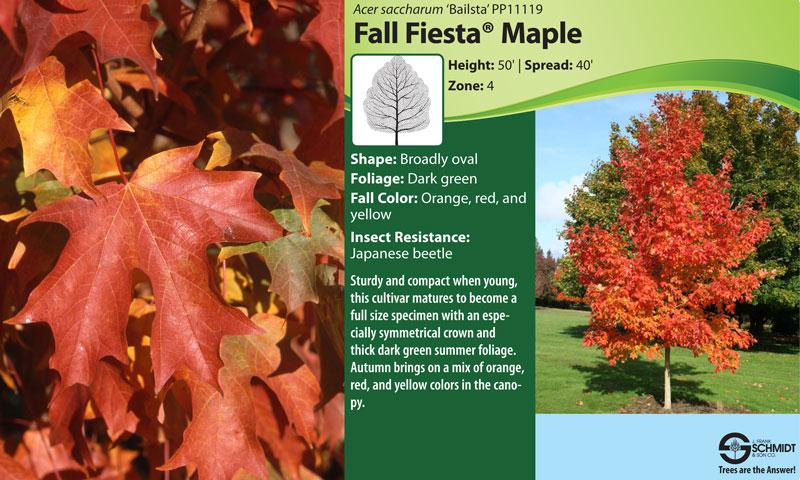 Fall Fiesta Sugar Maple Data Sheet