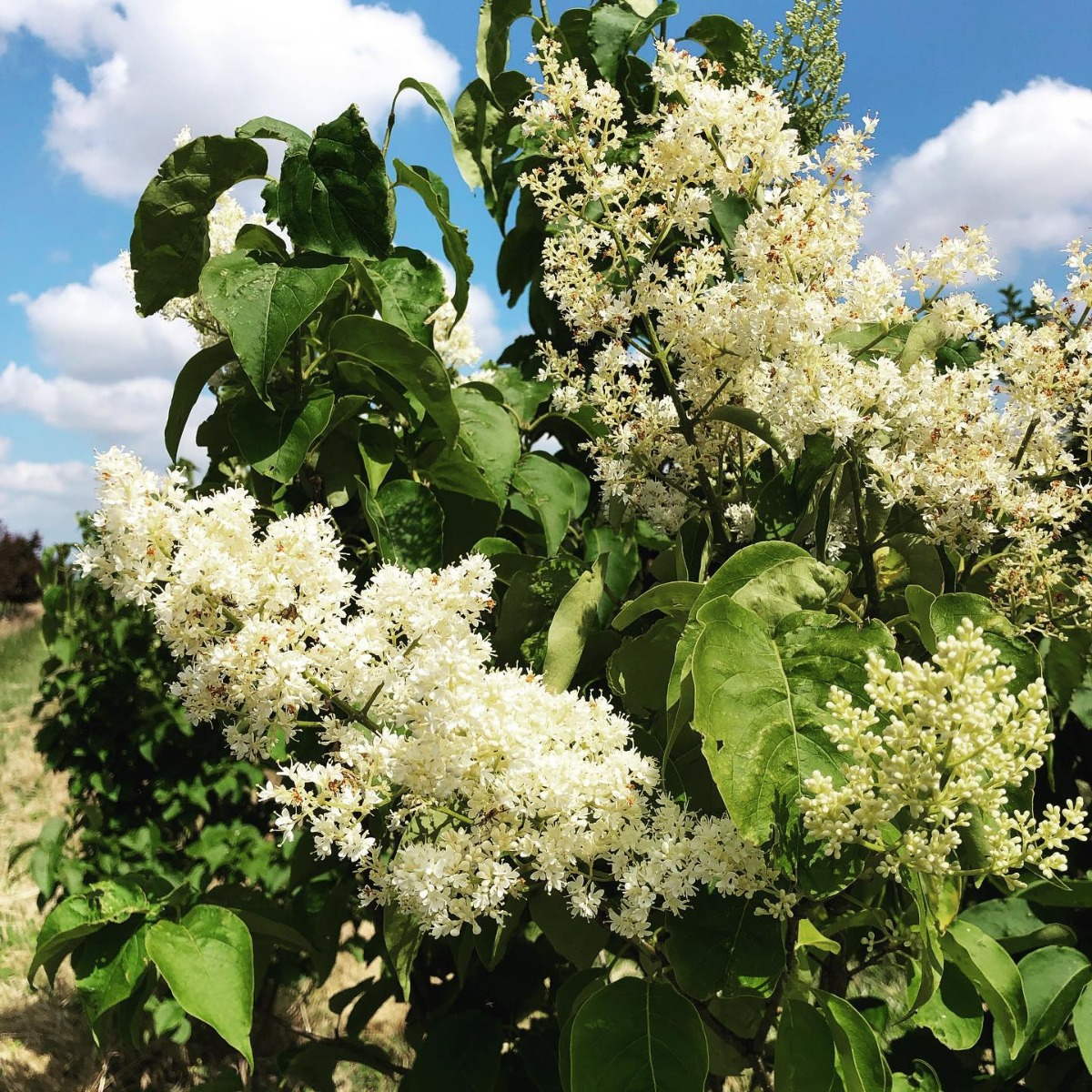 Japanese Tree Lilac Flowers