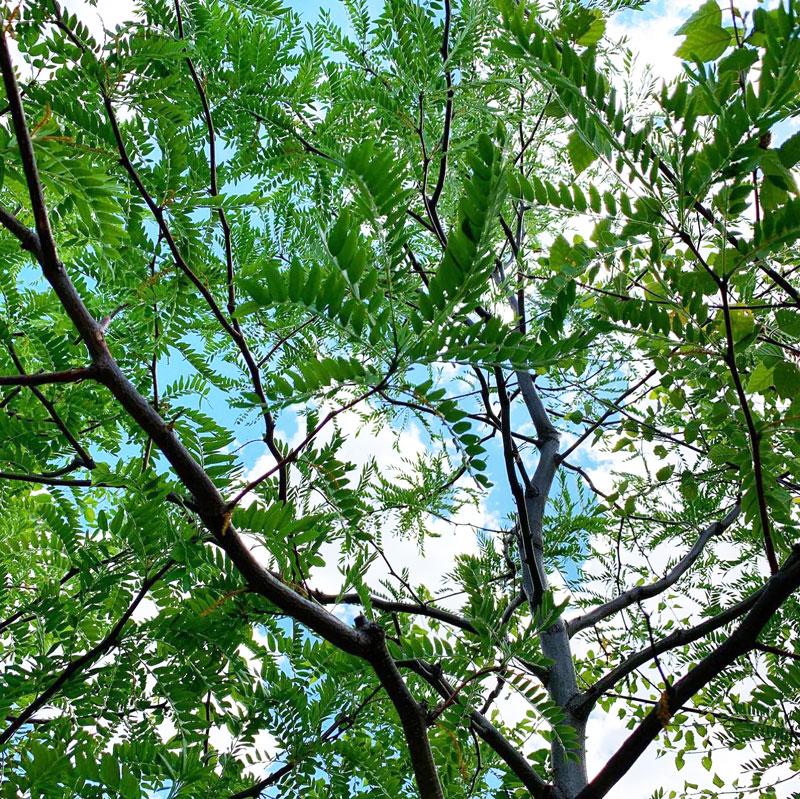Skyline Honeylocust Underside Foliage Canopy