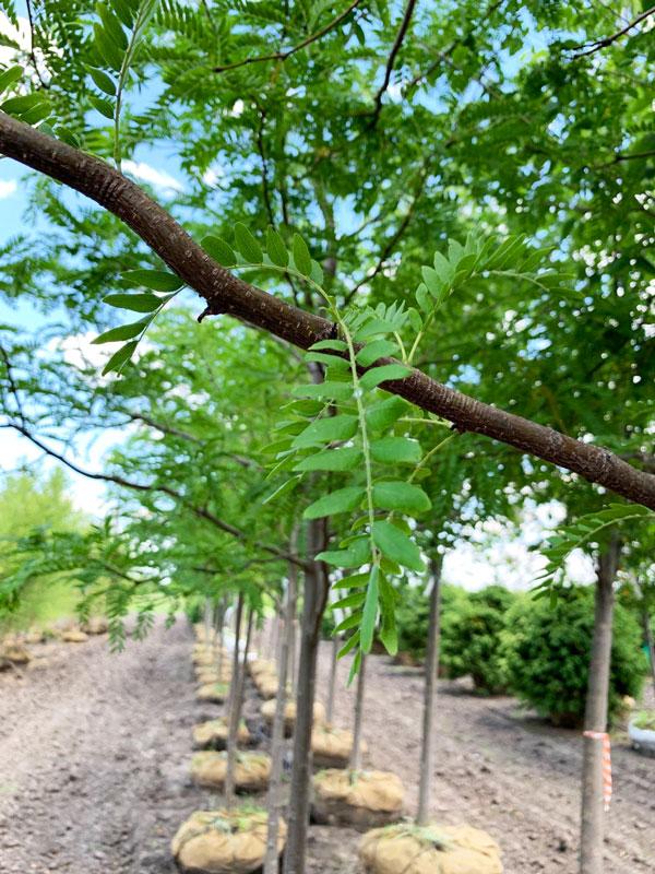 Skyline Honeylocust foliage