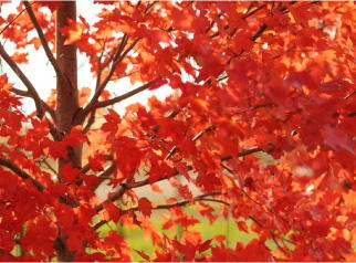 Maple Tree with Fall Color
